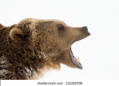 North American Grizzly Bear in Winter Scene