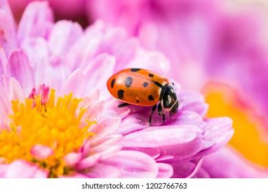 North American lady bugs macro shot