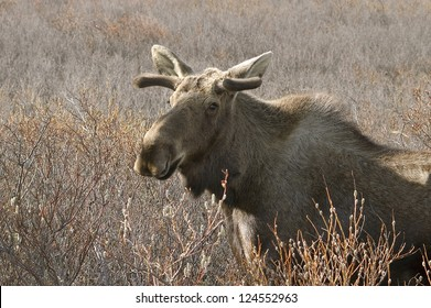 A North American Moose with small antlers in a field