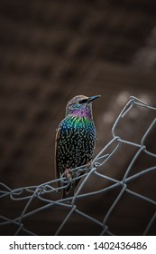 The North American Non-breeding European Starling (Sturnus vulgaris) perching on some industrial fencing in a parking lot under Brooklyn Bridge in New York, United States of America