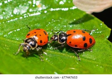 North American oval shape ladybugs mating ritual