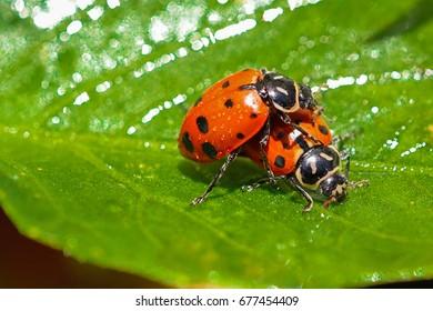North American oval shape ladybugs mating