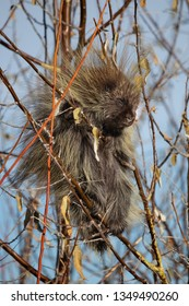 North American porcupine eating branches in Antelope Island, Utah