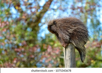 The North American porcupine (Erethizon dorsatum), also known as the Canadian porcupine or common porcupine, perched on stake
