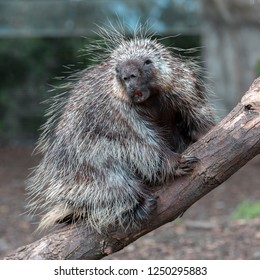 North American Porcupine (Erethizon Dorsatum) climbing a tree, also known as the Canadian Porcupine