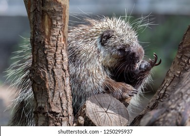 North American Porcupine (Erethizon Dorsatum) standing in a tree, also known as the Canadian Porcupine or common Porcupine