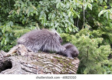 North American Porcupine (Erethizon dorsatum) mother and baby walk on forest log.