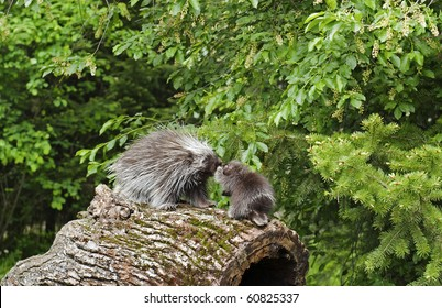North American Porcupine (Erethizon dorsatum) mother and baby rub noses while walking on an old log on the forest floor.