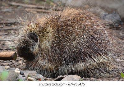 The North American porcupine (Erethizon dorsatum), also known as the Canadian porcupine or common porcupine, is a large rodent in the New World porcupine family.