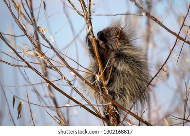 North American porcupine on branches in Antelope Island, Utah