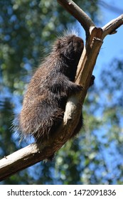a north american porcupine on a tree