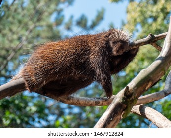 North American porcupine resting in a tree