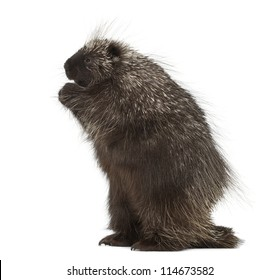 North American Porcupine standing on hind legs, Erethizon dorsatum, also known as Canadian Porcupine or Common Porcupine against white background