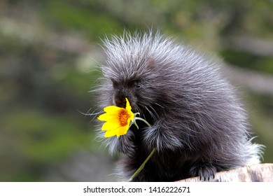 North American Porcupine with yellow flower