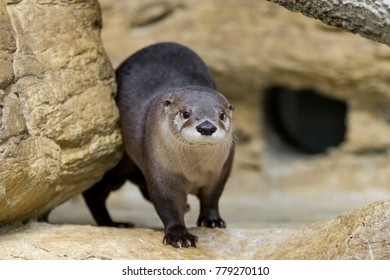 North American River Otter in Rocks coming out to play