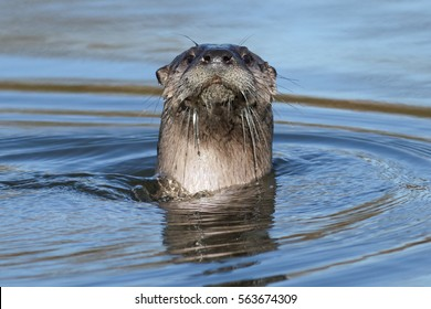 North American river otter swimming, (Lontra canadensis), Oregon, Ashland, Ashland Pond