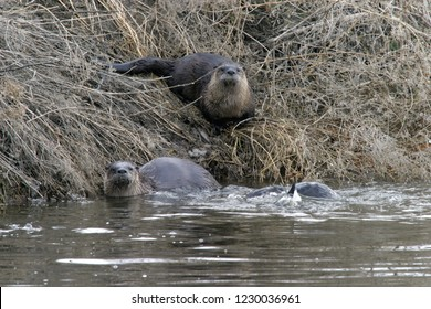 North American river otters (Lontra canadensis), Lower Klamath National Wildlife Refuge, California, USA