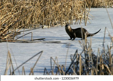 North American river otters (Lontra canadensis) on ice, Lower Klamath National Wildlife Refuge, California, USA