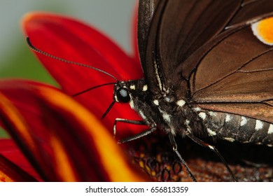 North American Swallowtail butterfly  macro shot