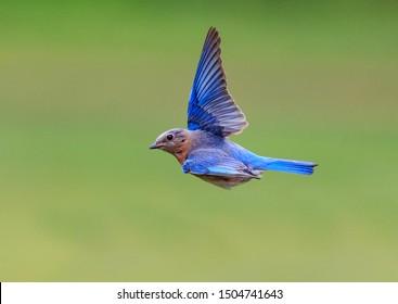 North Carolina bluebird flying to the left