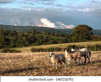 North Country Mule lambs bred from a Border Leicester ram and Swaledale ewe