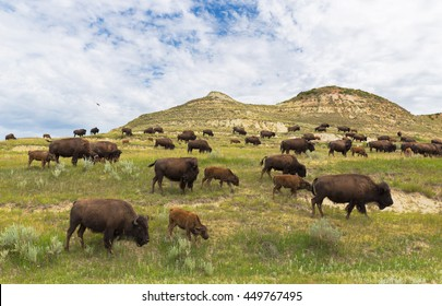 North Dakota bison herd