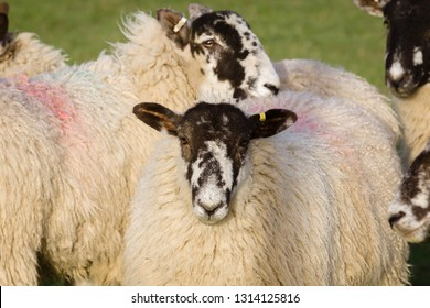 North of England or North Country Mule sheep cross bred between a lowland ram and a Swaledale ewe to produce hardy offspring with good wool and meat