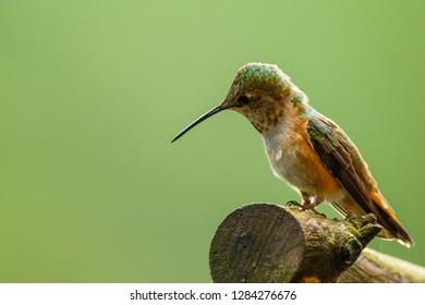 North Fork Flathead River. Calliope Hummingbird perched