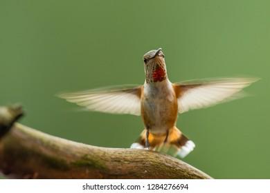 North Fork Flathead River. Hovering Calliope Hummingbird