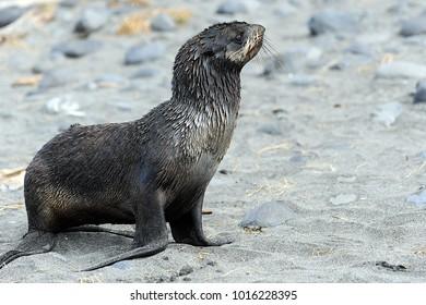 North Fur Seal Commander Islands Stock Photo (Edit Now