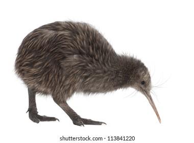 North Island Brown Kiwi, Apteryx mantelli, 5 months old, walking against white background