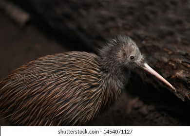 The North Island brown kiwi, Apteryx mantelli, is the most common kiwi, with about 35,000 remaining in New Zealand.