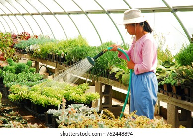 North Kingston, RI, USA September 16, 2008 An adult woman waters the plants in a greenhouse at a nursery in North Kingston, Rhode Island