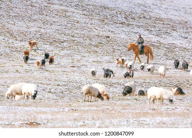 North Mongolia /  Mongolia - September 15, 2018: Mongolian herders with their cattle on the grassland.