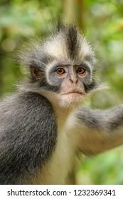 North Sumatran Leaf Monkey - Presbytis thomasi, endemic monkey from North Sumatra forests, Indonesia.