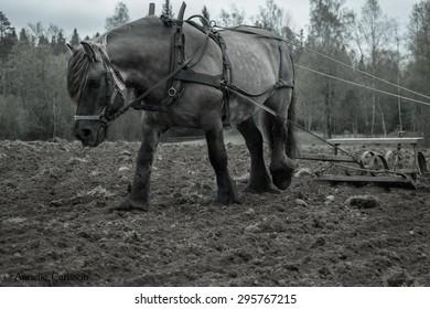 North swedish draft horses in work