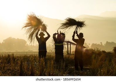 North, Thailand - November 8, 2020 :Farmers silhouettes threshing rice at sunrise. Rice grain threshing during harvest golden hours in northern Thailand. Agriculture workers. Work as a group. Teamwork