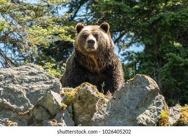 North Vancouver, British Columbia, Canada.  The grizzly bear of Grouse Mountain standing on a rock outcrop and looking at camera.