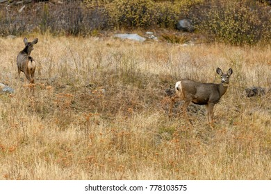 North West White Tailed Deer (Odocoileus virginianus) in the wilderness in Cariboo Regional District, British Columbia, Canada