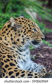 North-Chinese leopard, leopard, head