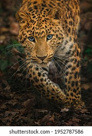 North-Chinese leopard (Panthera pardus japonensis) running on the path in the leaves, close up portrait while looking at you