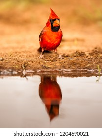 Northen Cardinal approaching a water pond during the spring migration at Laguna Seca Ranch, April 17, 2015 in Edinburg, TX.