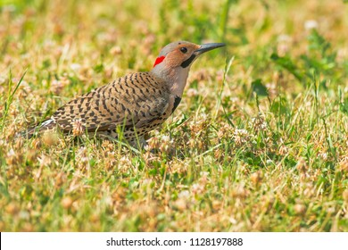 Northenr Flicker standing in the short grass. Also known as the Yellow-shafted Flicker. High Park, Toronto, Ontario, Canada.