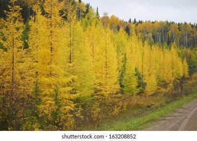 Northern Alberta Forest in Autumn