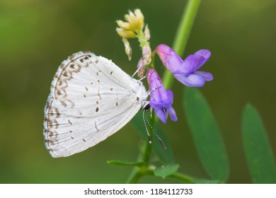 Northern Azure Butterfly collecting nectar from a purple flower. Also known as an Eastern Spring Azure.The Portlands, Toronto, Ontario, Canada.
