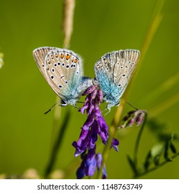 The Northern Blue or Idas Blue (Plebejus idas) mating in our backyard in Uppland, Sweden