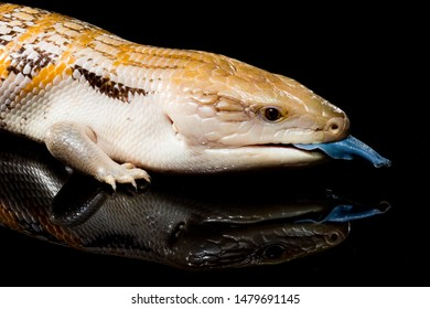 A northern blue tongue skink with yellow stripes on its back laying on a black mirror with its reflection visible beneath it as it sticks is blue tongue out as if licking its reflection.