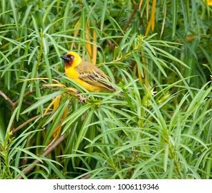 Northern brown-throated weaver (Ploceus castanops) in bushes on Rusinga Island, Kenya