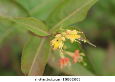 Northern Bush Honeysuckle specimen sample from Ontario Canada