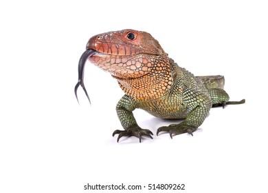 Northern caiman lizard, Dracaena guianensis